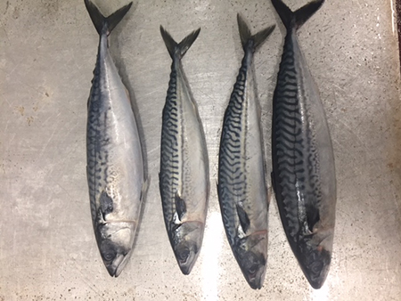 fresh mackeral